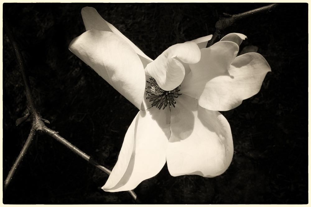 Magnificent-Magnolia.jpg