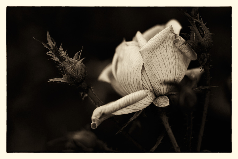 Rose-Fading.jpg