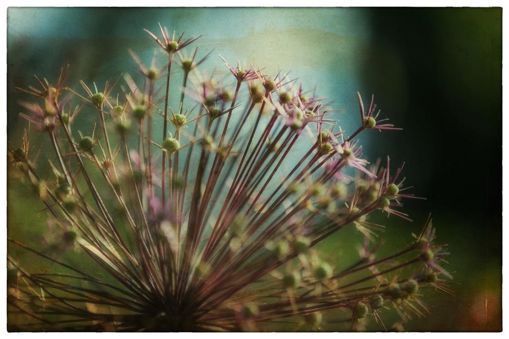 Alium-Stars-Framed.jpg