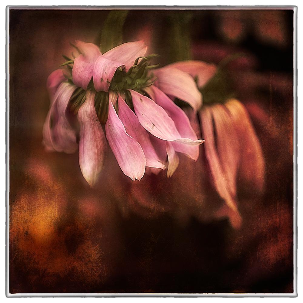 Echinacea-Fading1b.jpg
