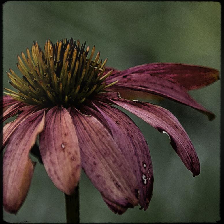 Echinacea 1.jpg
