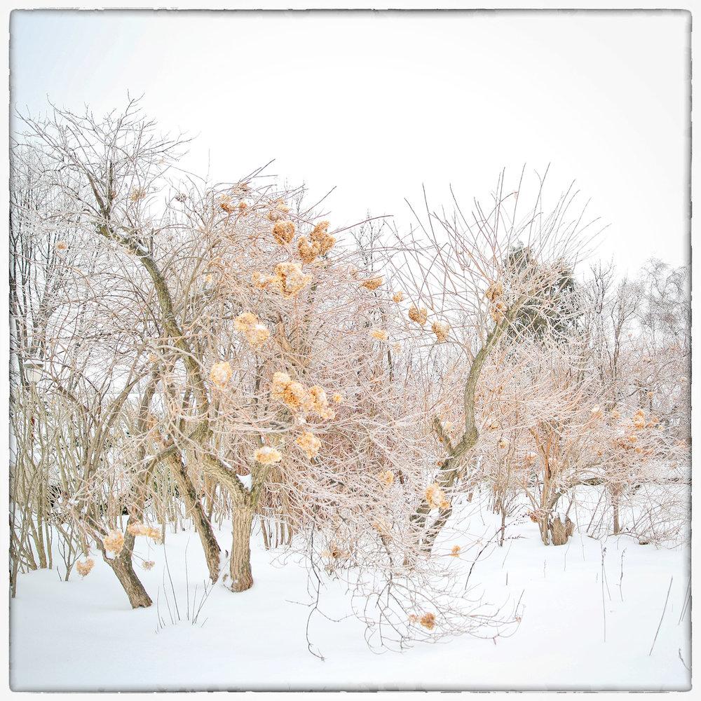 Winter Hydrangea 8x8.jpg