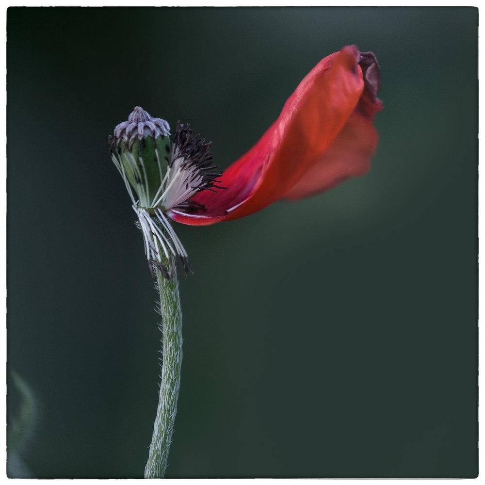 PoppySingleFading.jpg