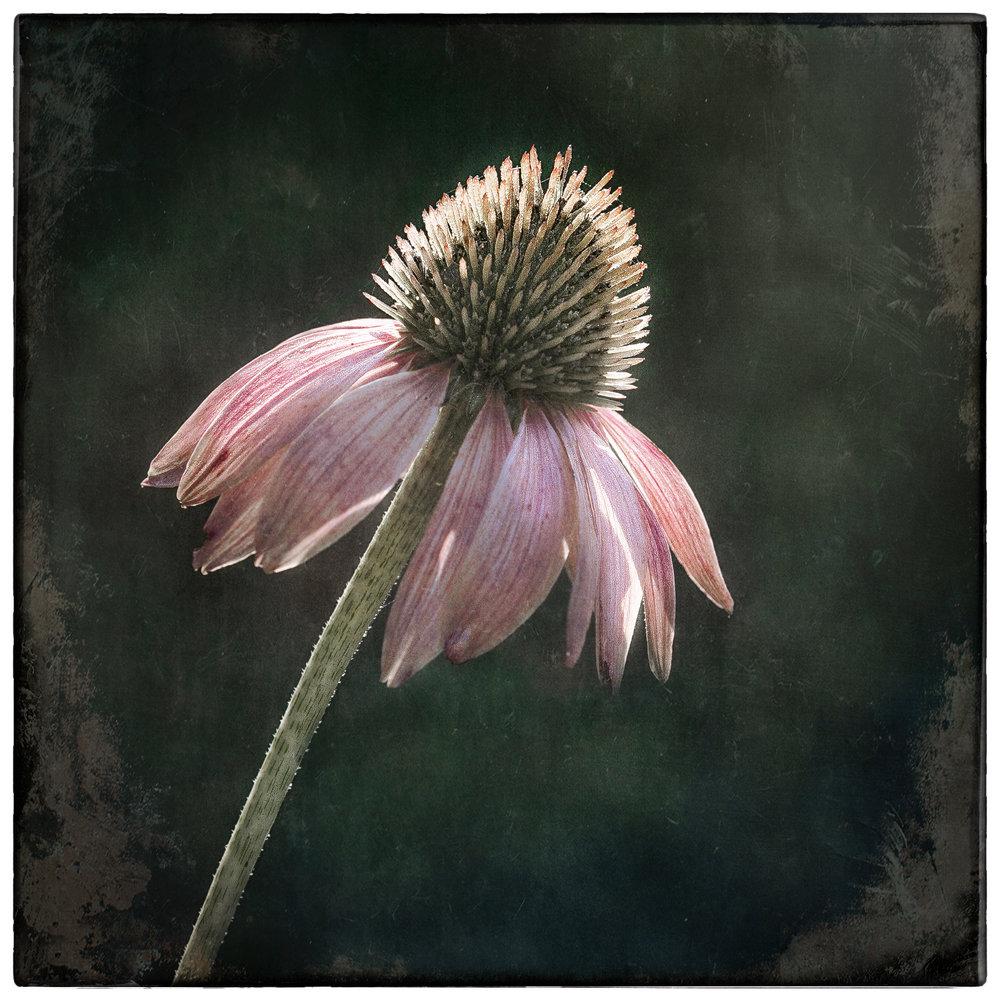 Echinacea-1b.jpg