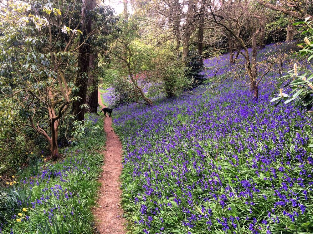 Early bluebells (and Willa)