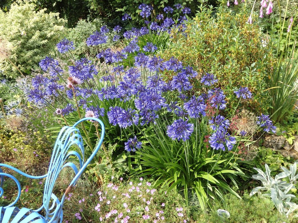 Agapanthus Navy Blue in the White Sunk Garden