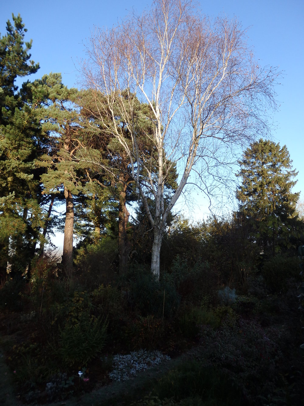 Silver birch in the Wide Border