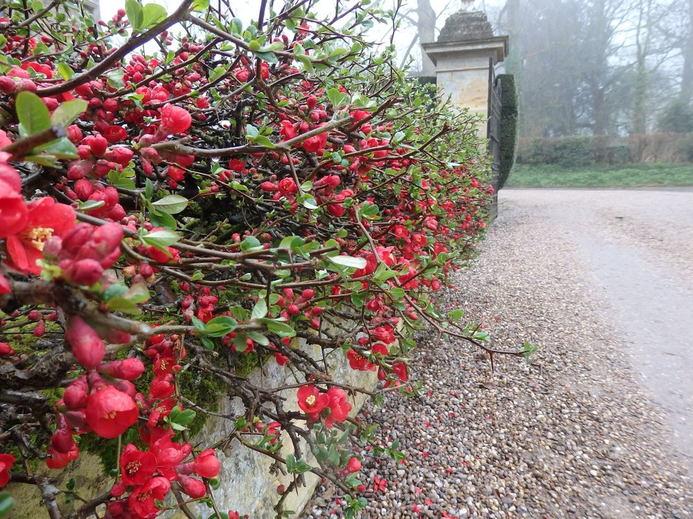 Chaenomeles hedge