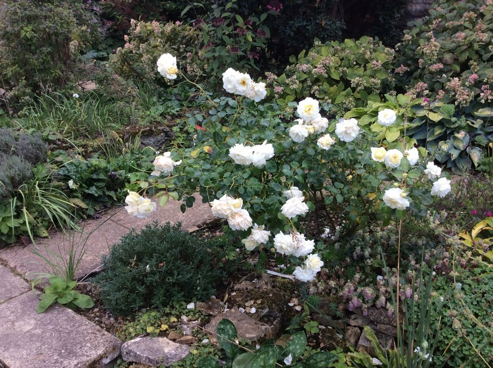 Rosa Clarence House