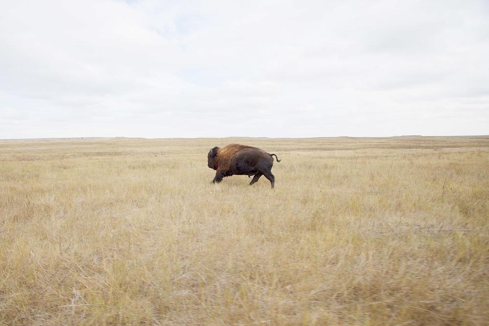 Buffalo10.jpg
