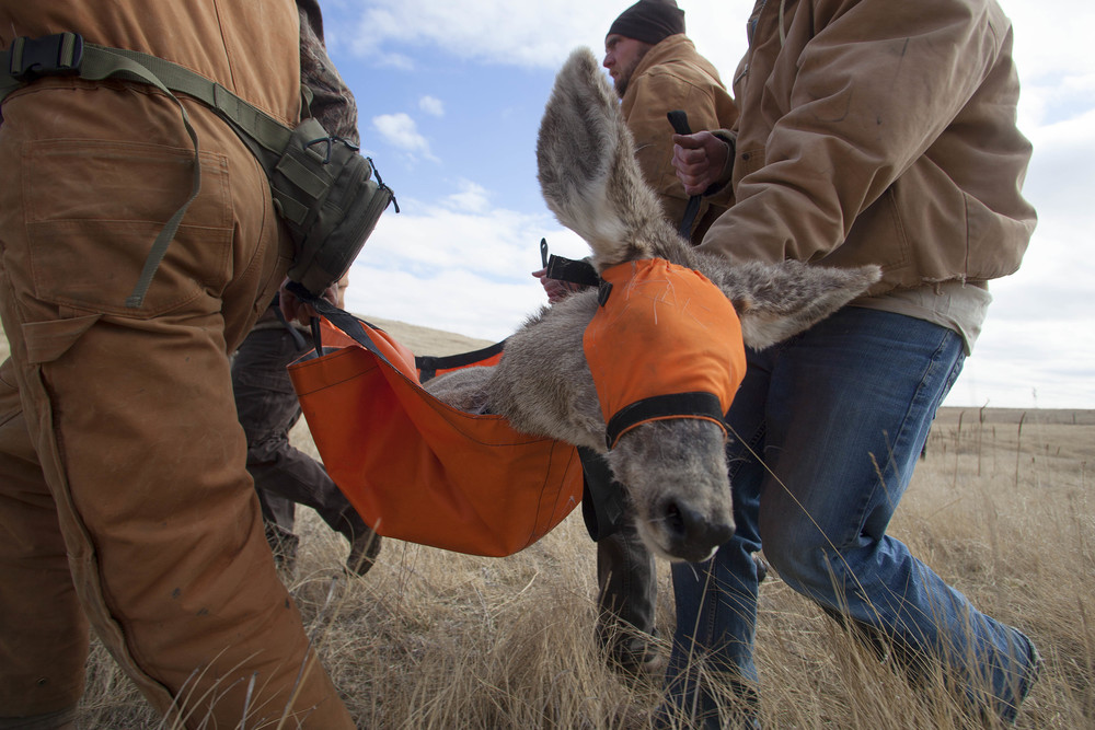 The ground team carries a blindfolded, sedated deer, out to a clearing to be released.