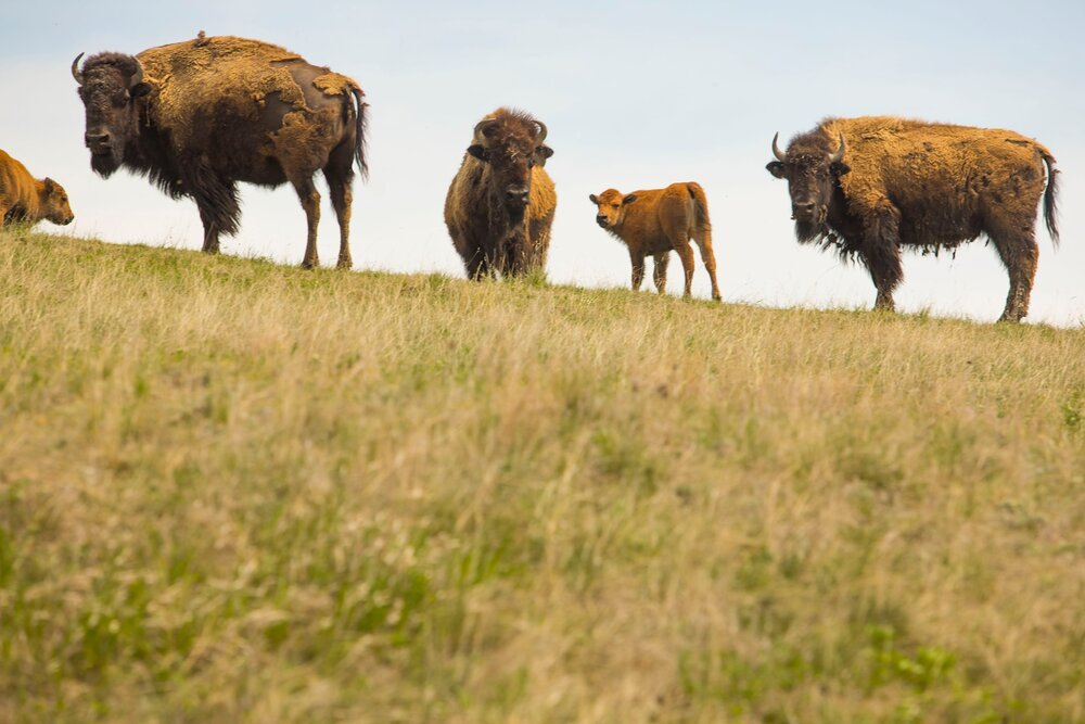 Two bulls graze on a vista at the 777 Bison Ranch