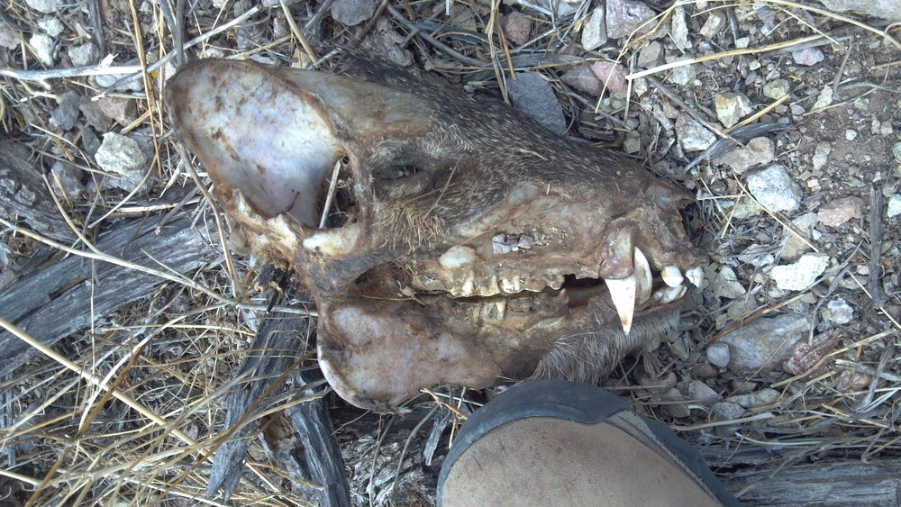 An adolescent Javelina head. I find the strangest things!    Photo Larry Atkins
