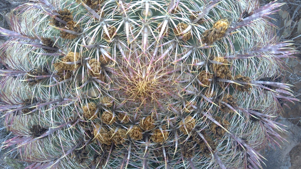 Barrel Cactus  Photo Larry Atkins