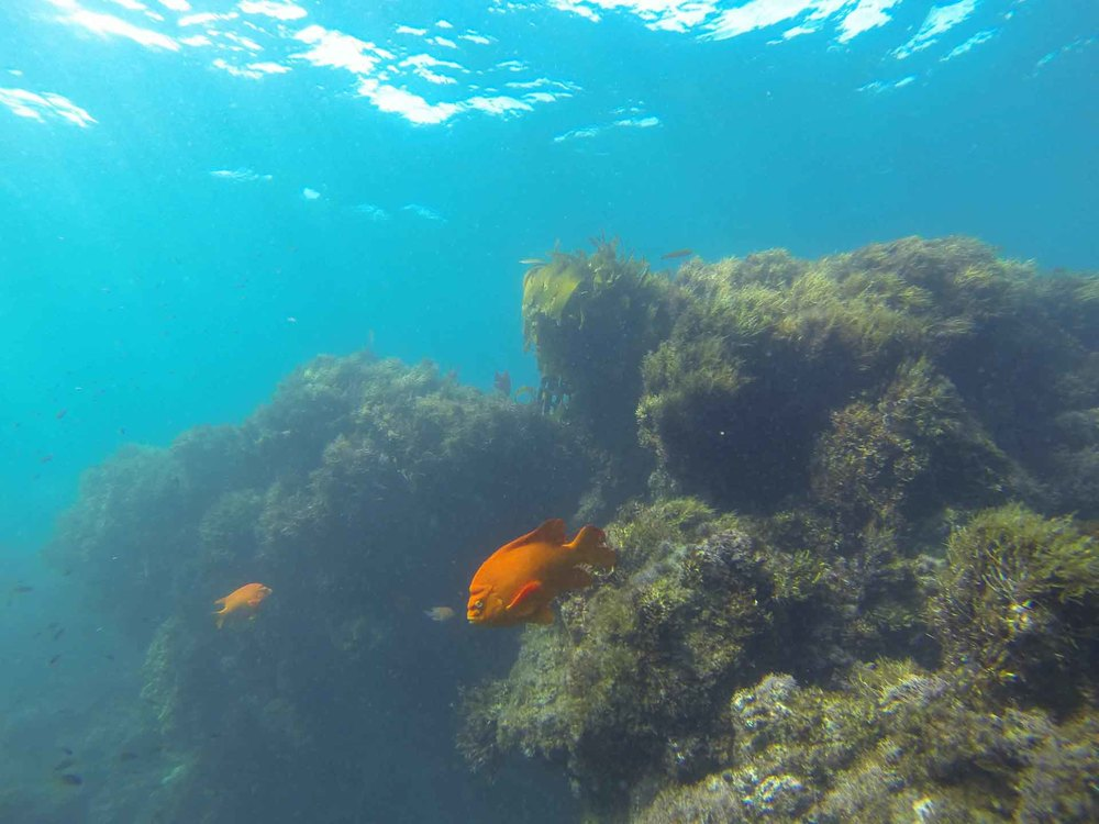 A Garibaldi On A Rock Reef