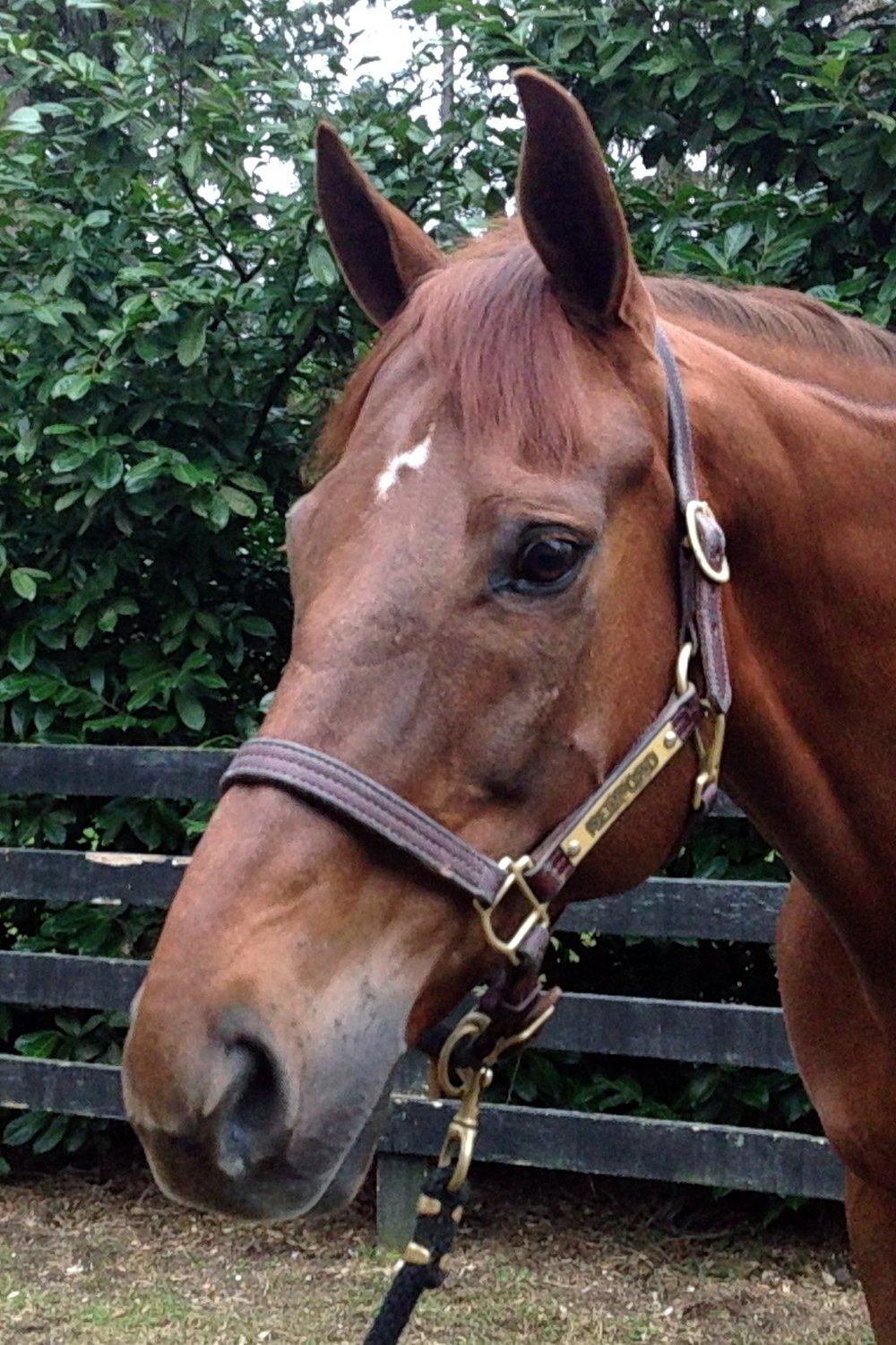 Redford, warmblood gelding