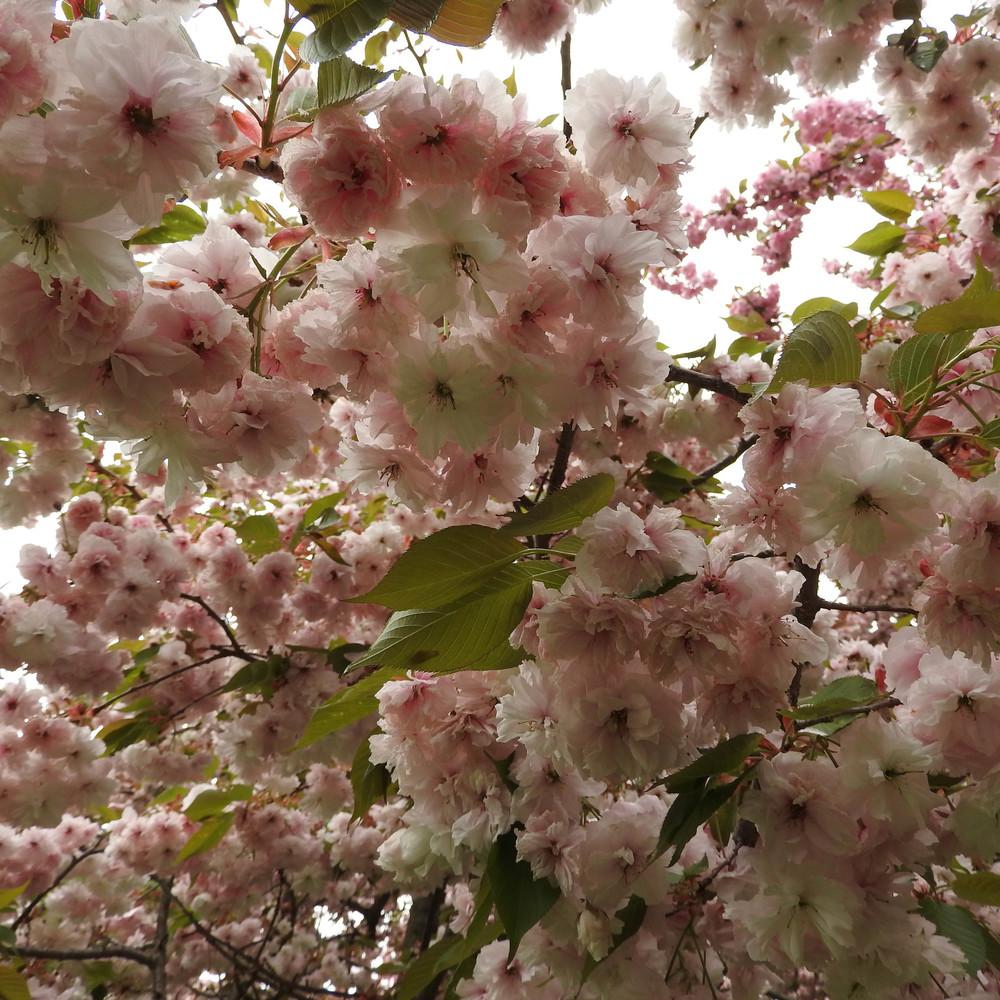 Brooklyn Botanic Garden, April 26, 2016 — Molly Roth