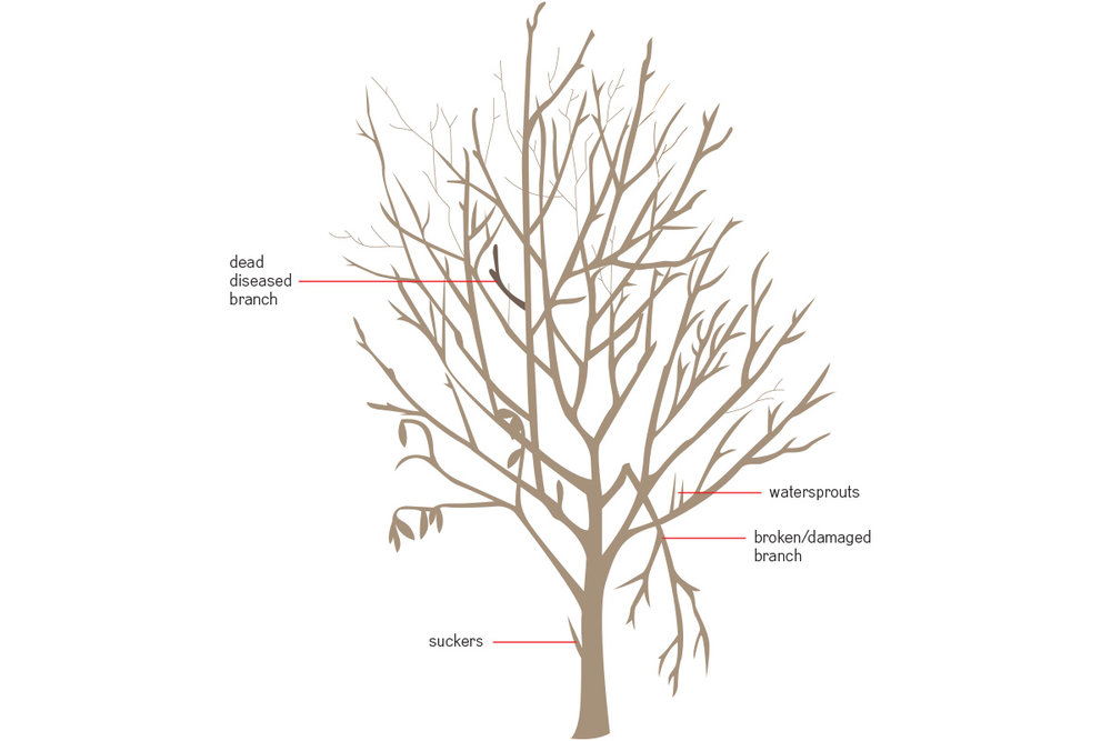 Here are some limbs to look for when pruning your trees or bushes.