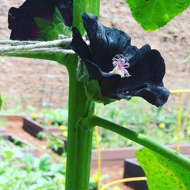 Black hollyhock blooming - can't wait to experiment with this color. Asked @thedogwooddyer early last year for dye garden advise, sewed the seeds and here we are! Thanks Liz! #dyegarden #naturaldyegarden #communitygarden #blackhollyhock #brooklyngrown