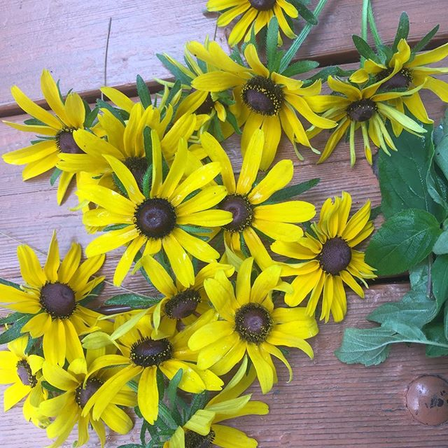 Black eyed bounty! Excited to try out this native dye plant #naturaldye #dyegarden #blackeyedsusan #bounty #🌻