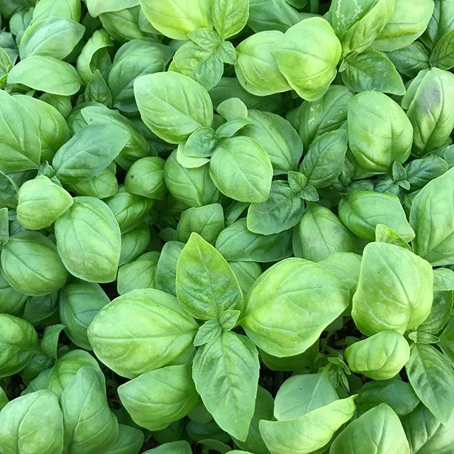 It's been a while since we have had basil, we will see you bright and early with it in WPB and Delray tomorrow.