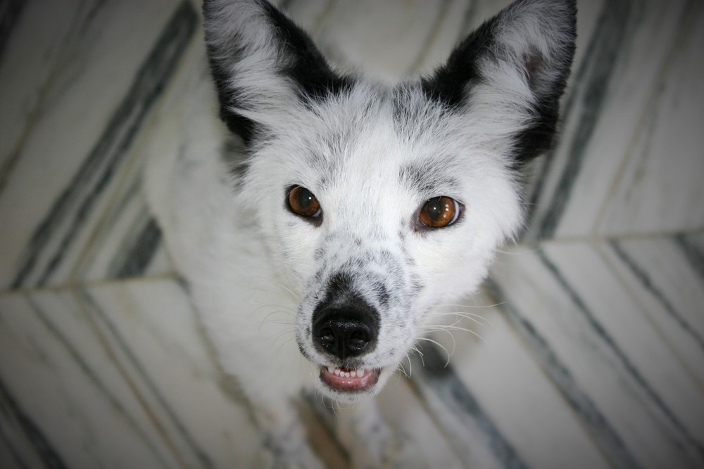 Boris, Russian domesticated fox, Georgian White -