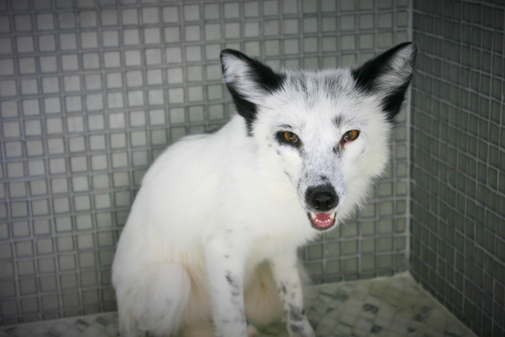 Sophia, the first RDF imported by the Founders Russian domesticated fox, Georgian White color
