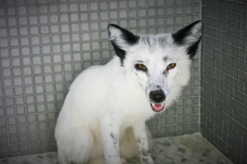 A Russian domesticated fox