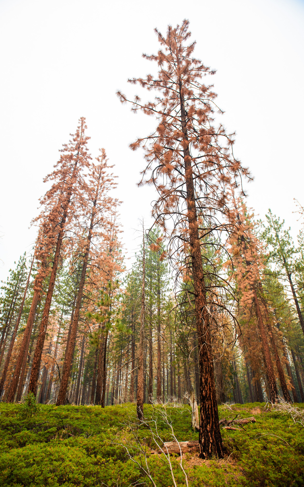 sierra_forest_dead_trees_brittany_app.jpg