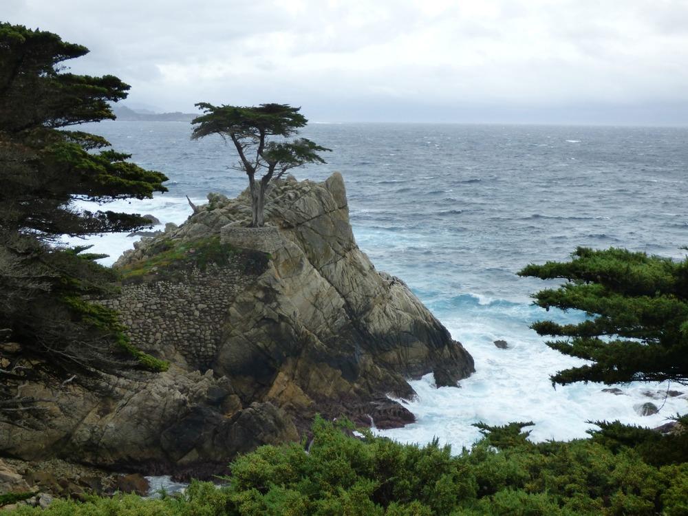 Lone cypress pieni.jpg