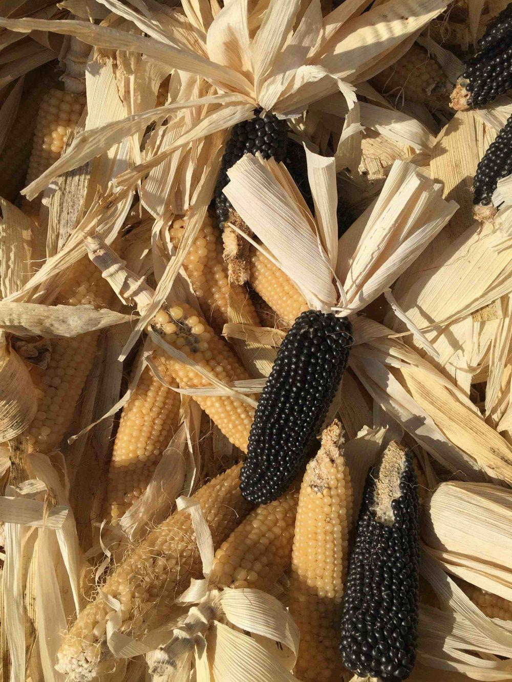 Näistä voi kotona paahtaa popcornia joko irroittamalla siemenet kattilaan tai laittamalla maissin paperipussissa mikroon.
