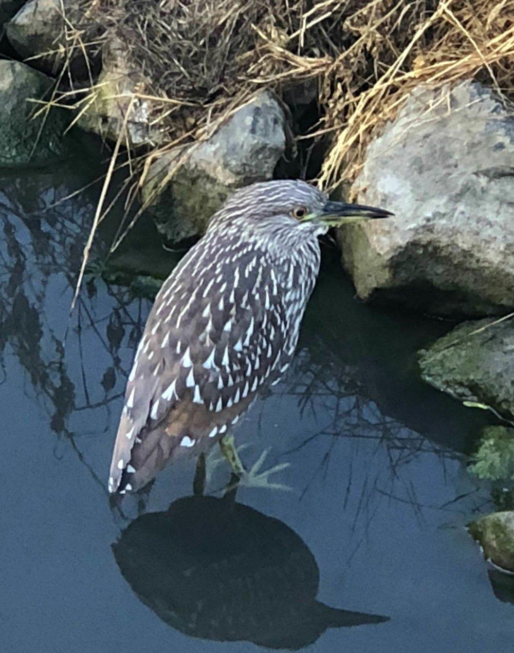 Aamulla kun kävelemme kouluun bongailemme lintuja talon takana olevasta purosta. Yleensä siellä majailee haikaraperhe mutta tällä kertaa näimme ihan uuden tulokkaan. Yritin tunnistaa lintua ja tulin siihen tulokseen, että se mahtaa olla uhanalainen California Clapper Rail.