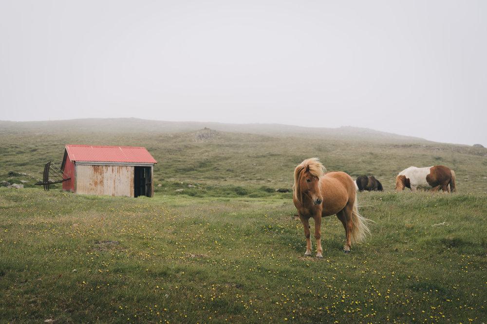Icelandic Horses  West Icelandic Coast |05.22.16|