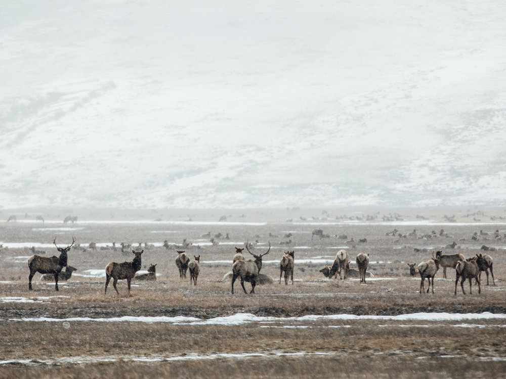 National Elk Refuge  |3.18.18| Jackson, Wyoming