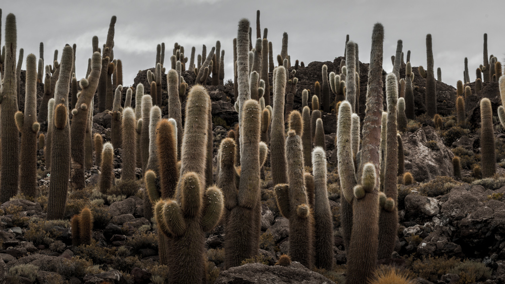 Cactus Forest on Isla Incahuasi
