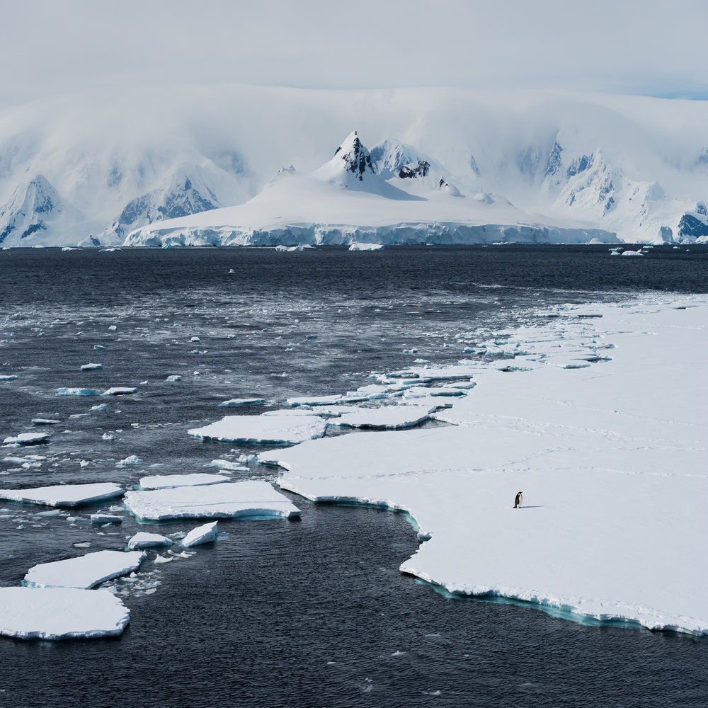 Lone emperor penguin on the ice floes in the Gerlache Strait.