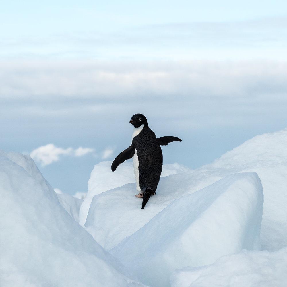 An Adelie penguin posing on an iceberg.