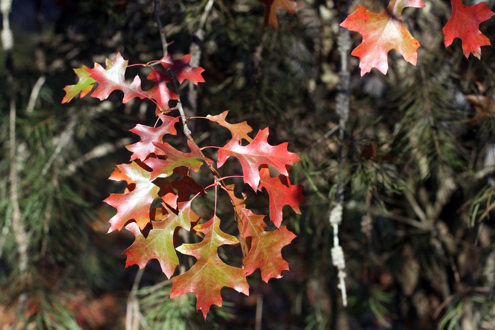 Autumn Pinoak