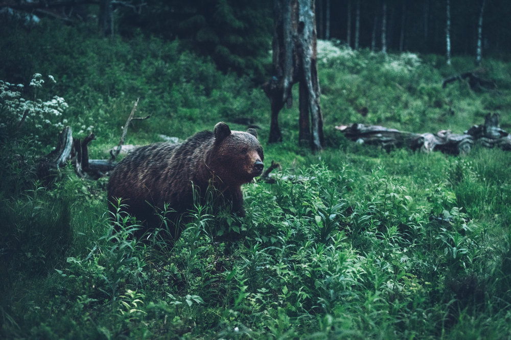 A bear in Lieksa.