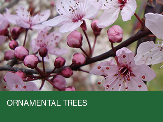 ornamental-trees.jpg