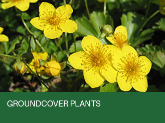 groundcover-plants.jpg