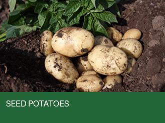 seed-potatoes-2.jpg