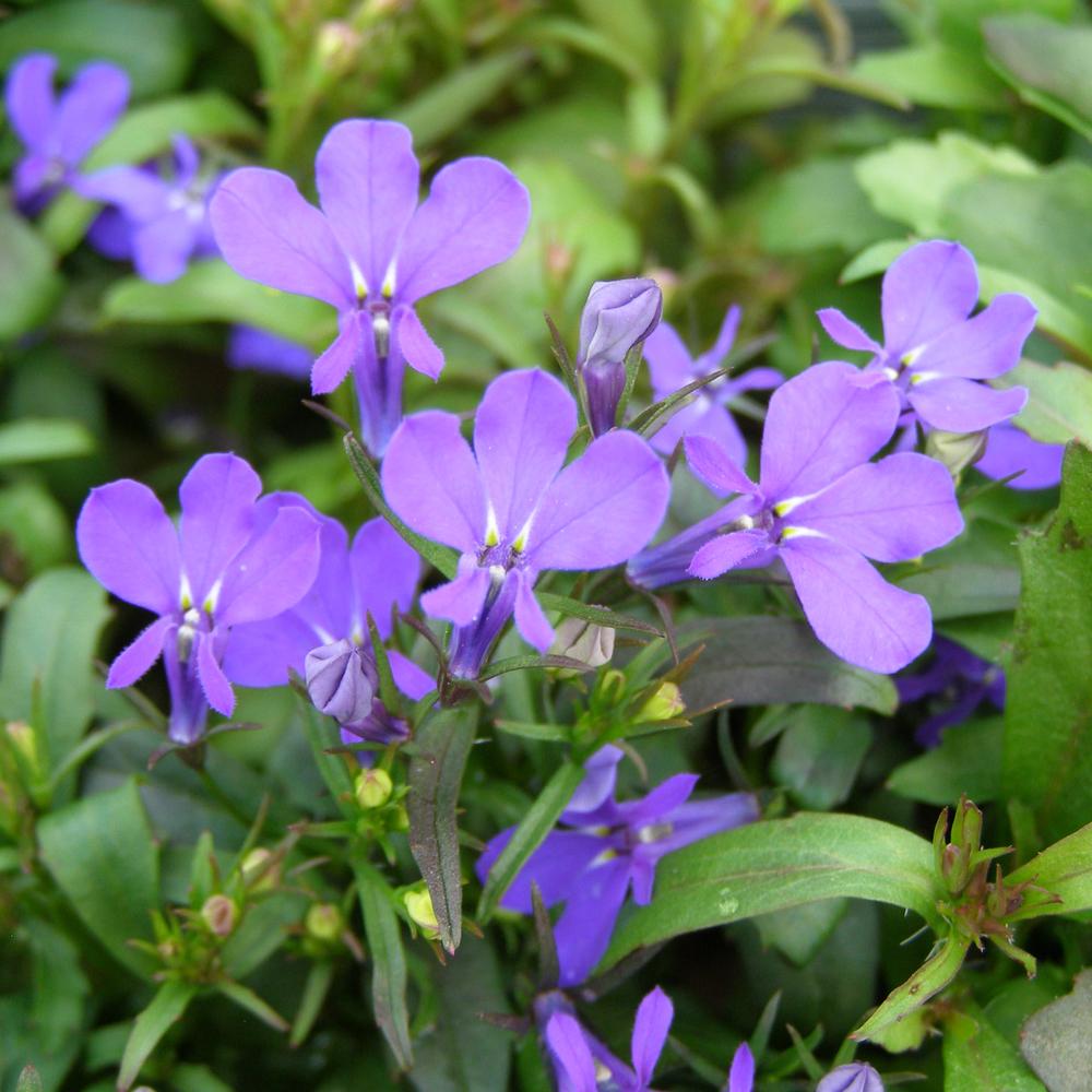 9cm Lobelia Hot Night Blue Plants Galore Garden Centre Real