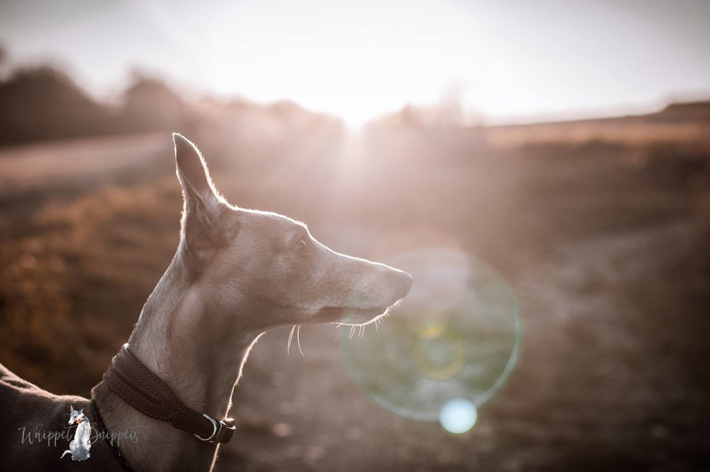 Whippet Snippets Dog Photographer