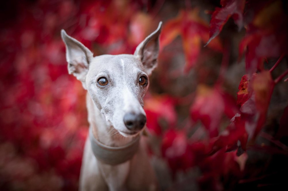 Whippets Snippets