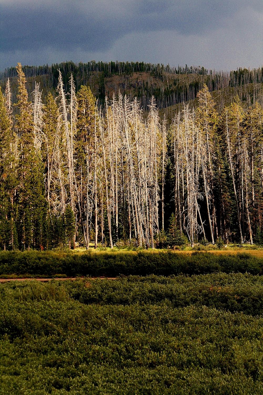 Yellowstone Tree.jpg
