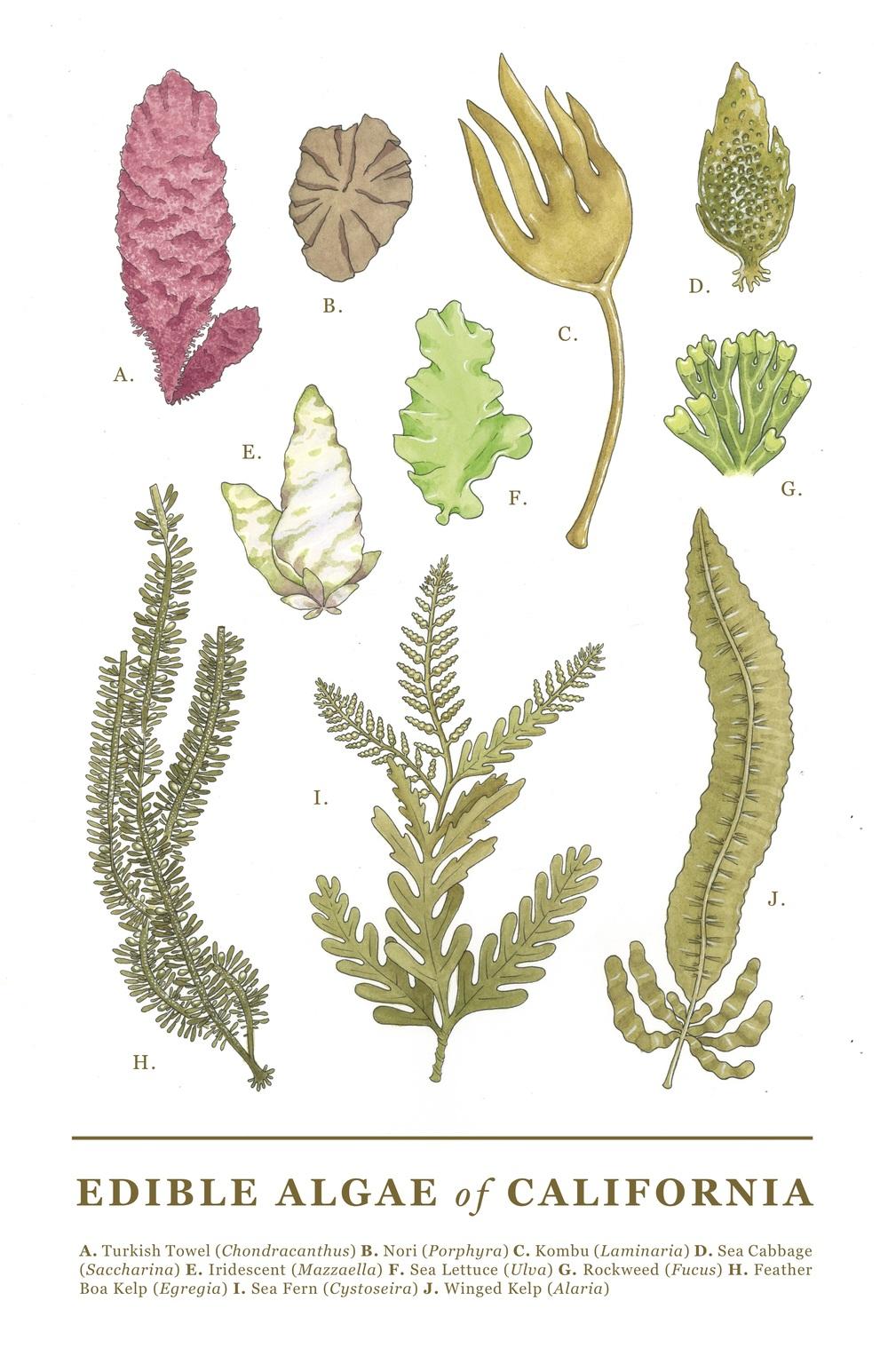 Edible Algae