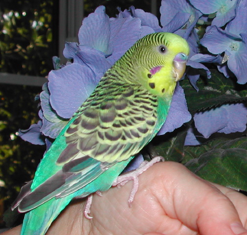 our-parakeet-in-front-of-the-blue-hydrangea