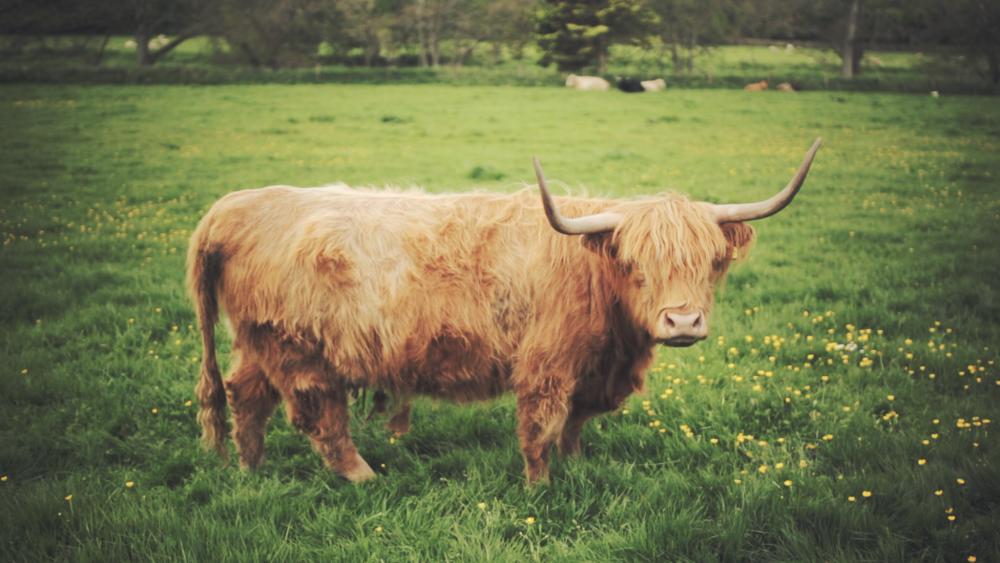 Hairy Coo of Methlick