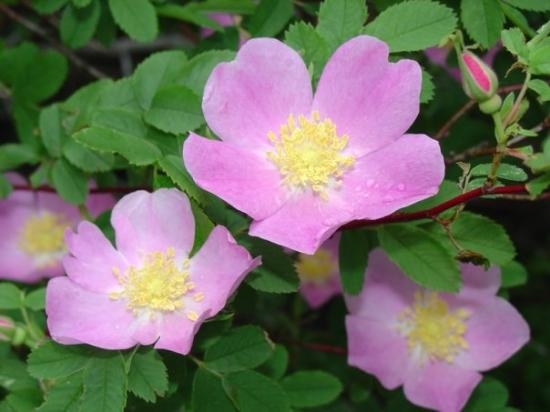 wild-roses-from-the-largest